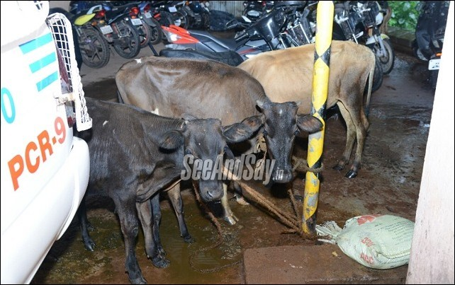 Kadri Police Save 17 Cattle From Illegal Transporters