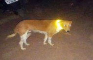 Glow-in-the-dark reflection belts to protect dogs on Sasthan Highway